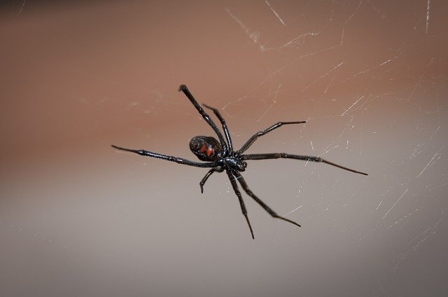 A female black widow spider on a spider web