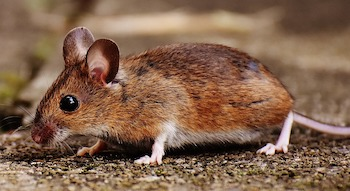 A brown deer mouse