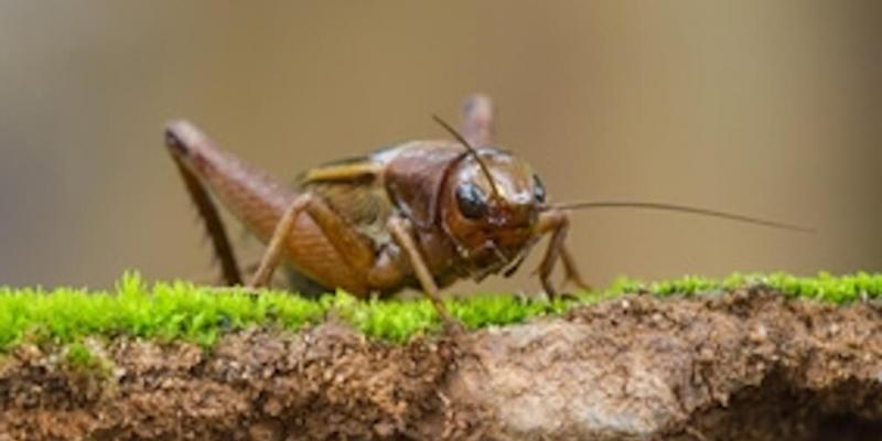 facts-about-crickets