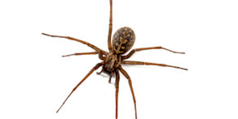 facts-about-hobo-spiders