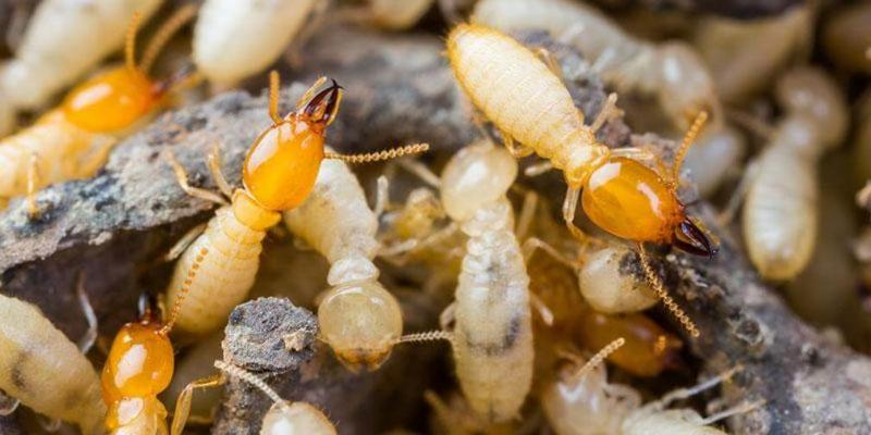 the-difference-between-termites-and-ants