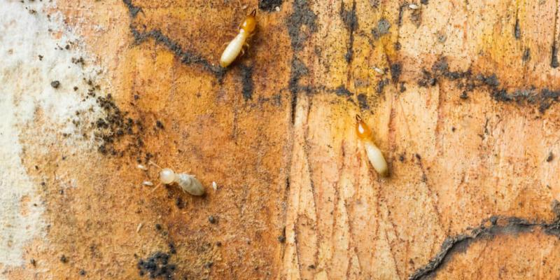 the-most-common-termites-in-northern-california-termite-treatment