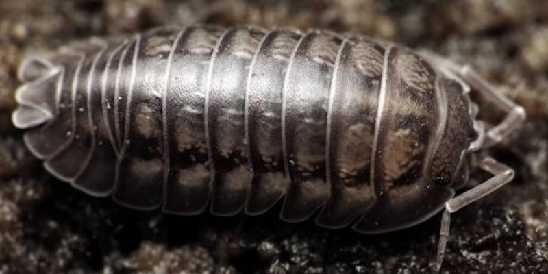facts-about-sow-bugs
