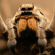 facts-about-wolf-spiders
