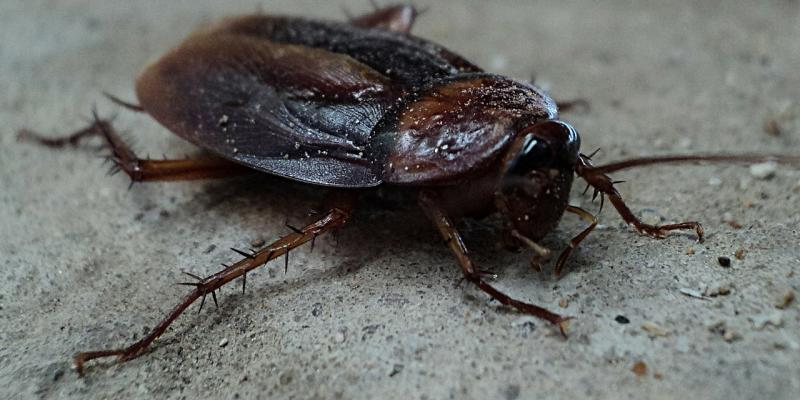 picture of a cockroach